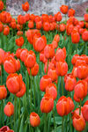 Title: Tulips in Madison Square Park