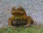 Title: Toad in my yardPanasonic Lumix DMC-FZ30
