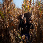 Title: In the corn.