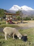 Title: Grazing sheep in the Andes