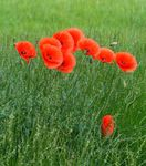 Title: Red PoppiesLeica V-Lux 4