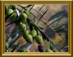 Title: An olive branch for 2005Olympus C740 UZ