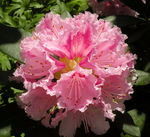 Title: RhododendronNikon Coolpix P80