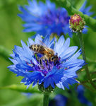 Title: Cornflower and beeNikon D70