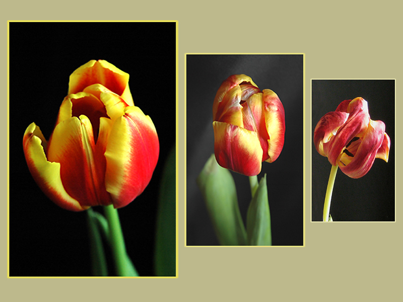 A story of one tulip
