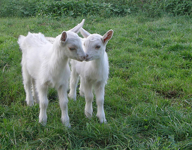 Twins on four legs