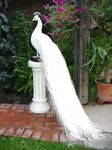 Title: White Peacock