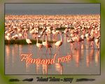 Title: Flamand rose - Lecon N�3Panasonic Lumix DMC-FZ7