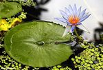 Title: Water Lily - Nymphaeaceae
