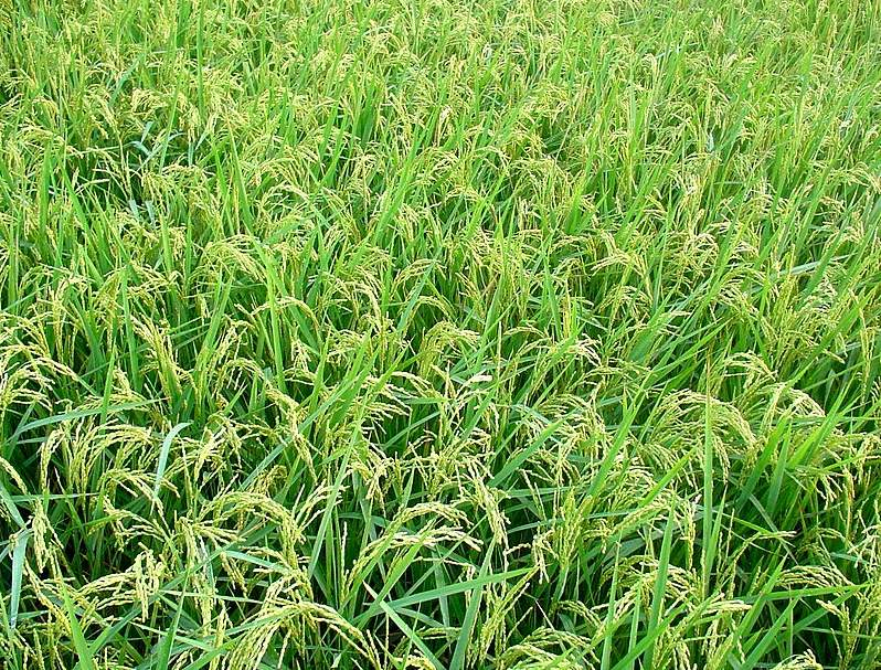 Field of Rice
