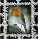 Title: Frosty Robin ...Canon 450D Rebel XSi