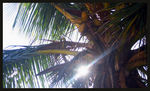 Title: Young coconuts chilling in the shadowNikon D5000