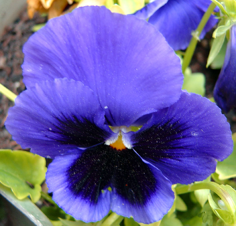 Blue Wild Pansy (Panses)