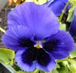 Title: Blue Wild Pansy (Panses)SONY DSC-P10