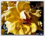 Title: The yellow rose and the beeSONY DSC-P10