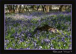 Title: Bluebell Woods