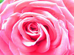 Title: pink flowerCanon PowerShot S2 IS