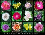 Title: Flowers of Transyvania