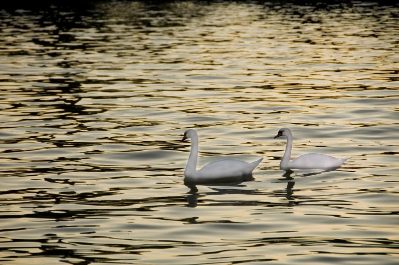 Swans in the river