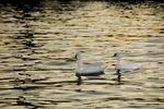 Title: Swans in the river