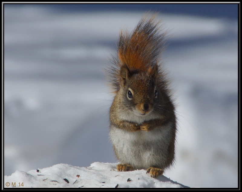 Red Squirrel (animal theme)