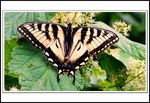 Title: The Tiger Swallowtail