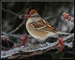 Title: American Tree SparrowFinePix HS20EXR