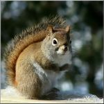 Title: Red SquirrelSony DSC-H5