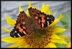 Title: Painted Lady butterflyFinePix HS20EXR