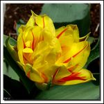 Title: My First TulipSony DSC-H5