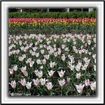Title: **Tulips**