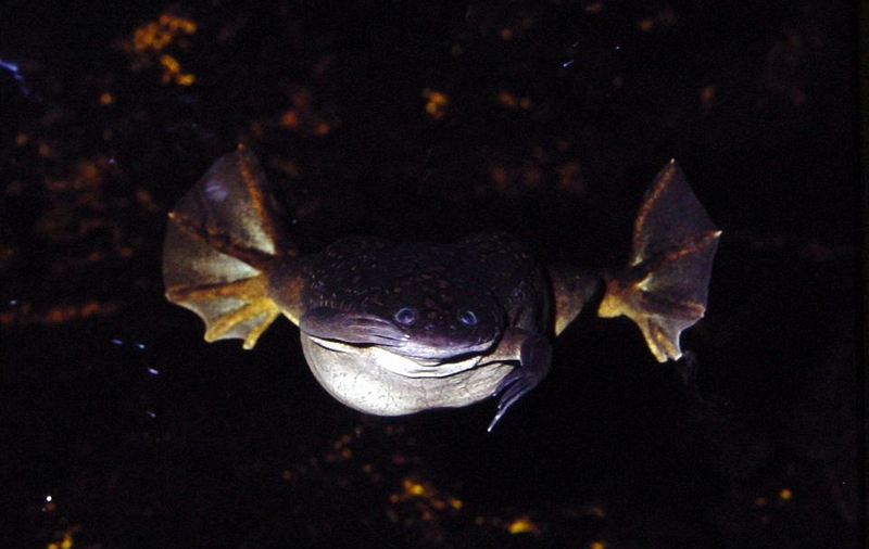 Large Clawed frog