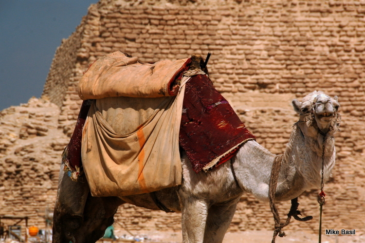 Camel and the Step pyramid