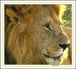 Title: a lion in reposeolympus C765 ultra zoom