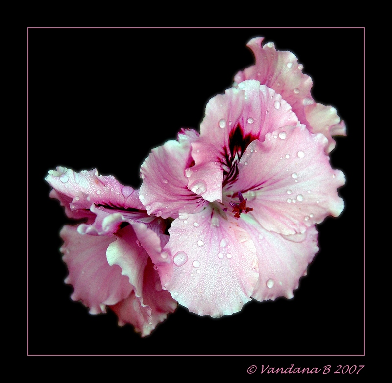 Dew on the Pink