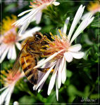 Title: Bee again !Canon PowerShot S3 IS