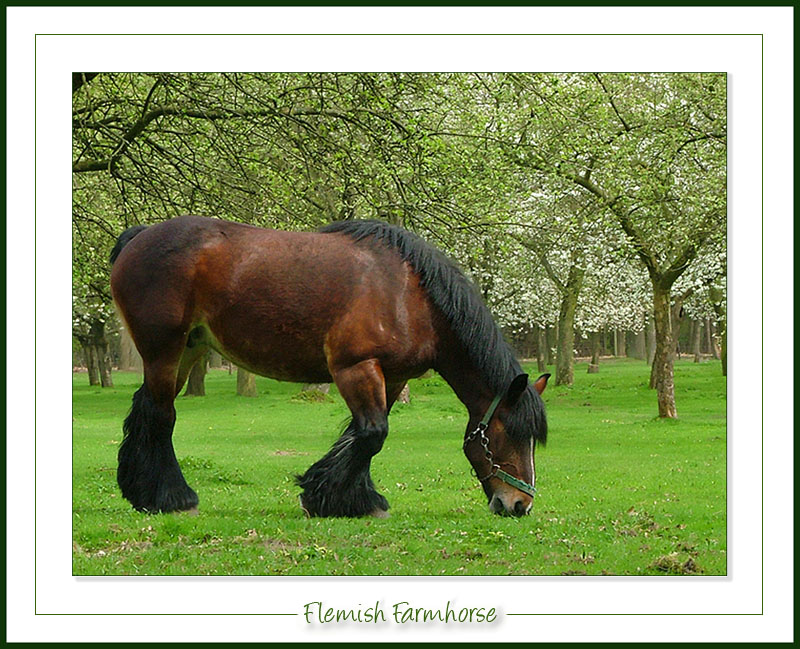 Flemish farmhorse
