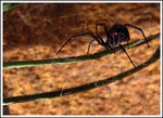 Title: Black widow..Fuji Finepix S5000