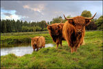 Title: Highland coos