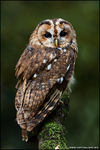 Title: Tawny Owl in the New ForestCannon 40D