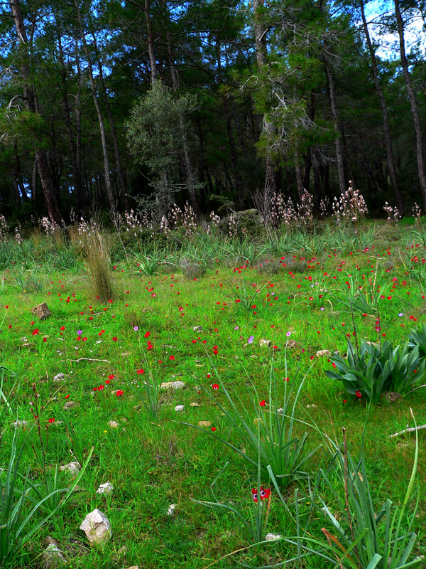 Forest and red anemones