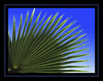 Title: Chinese Fan PalmNikon Coolpix 8400