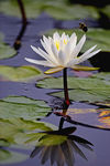 Title: Water LillyCanon 20 D