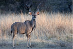 Title: great  Kudu