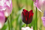 Title: Ruby red tulipCanon 20D
