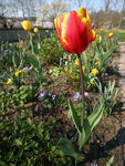 Title: Tulips, Big and Small