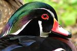 Title: Wood Duck