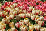 Title: Tulips