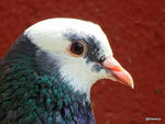 Title: A Rock Pigeon