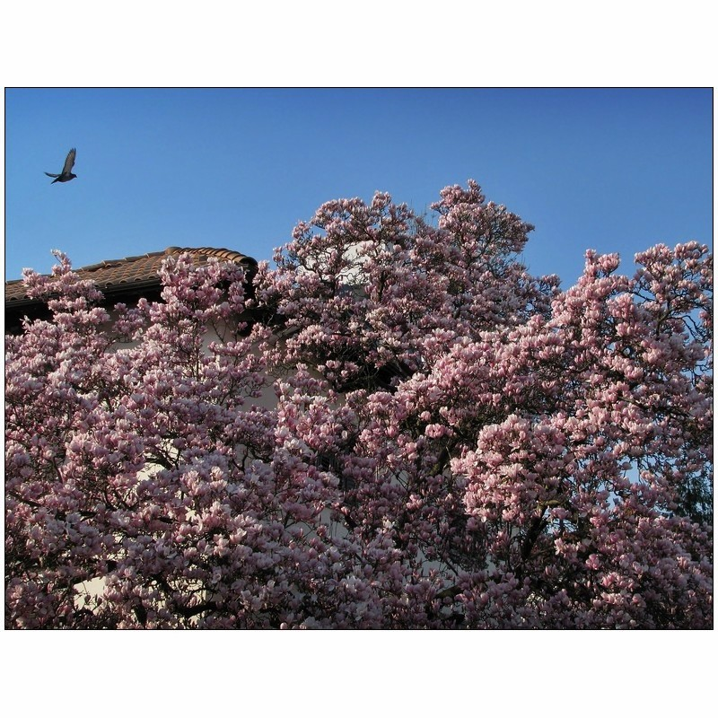 That Enchanting Time Of Magnolias - I -